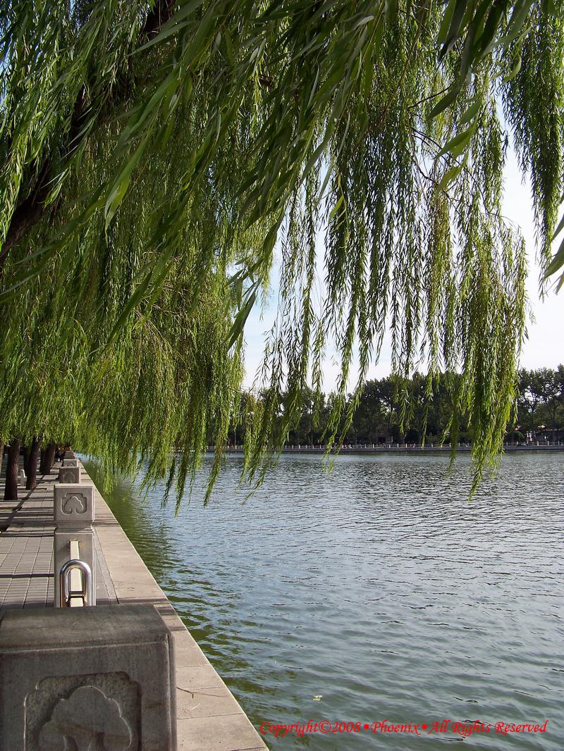 壁纸 垂柳 风景 柳树 摄影 树 桌面 800_1066 竖版 竖屏 手机