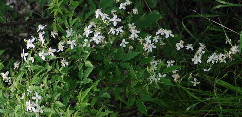 山顶上零星的开着这样的小白花