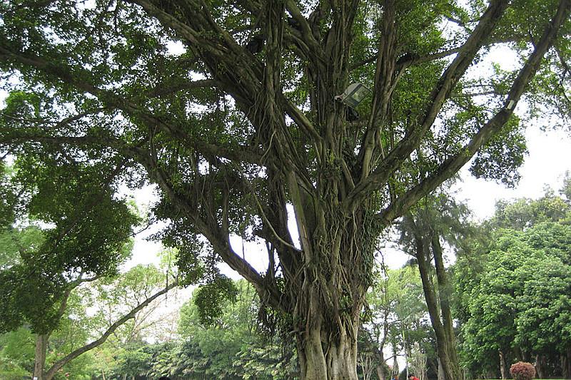 福州的榕树-爆炒双脆的博客-搜狐博客