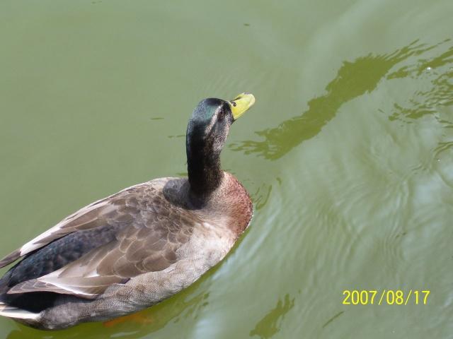 快乐的水鸭子 - 都市之恋 - 社会人文