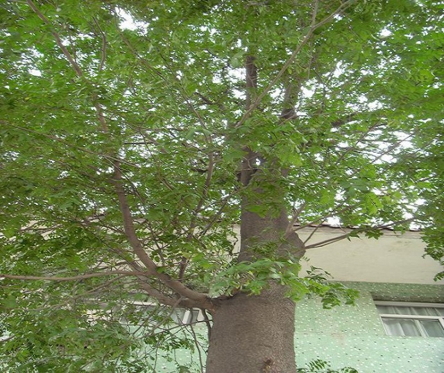 据沭阳城的老人介绍,这株皂荚原是清代大地主程震泰院中的树木