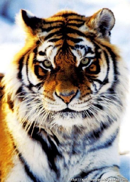 壁纸 动物 虎 老虎 桌面 500_702 竖版 竖屏 手机