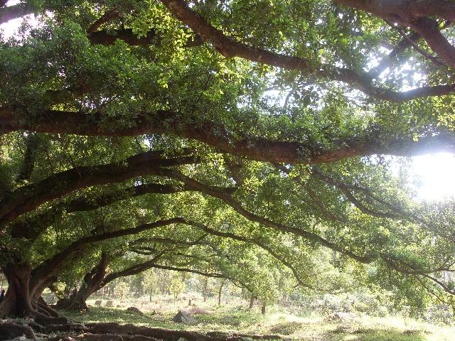 见过最美的榕树群 - 驴行天下