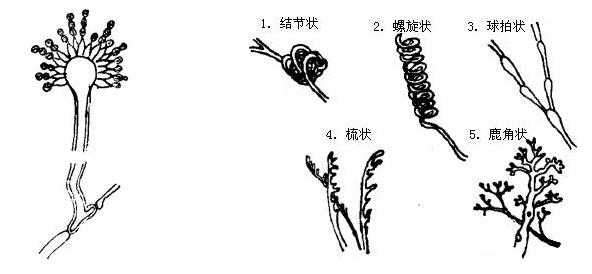 匍枝根霉手绘图