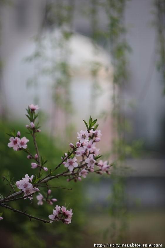 枝栀花春天发芽图片