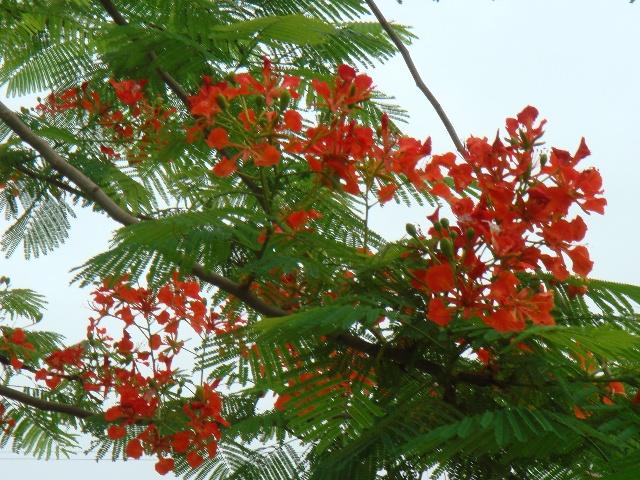 关于凤凰树:   中文名