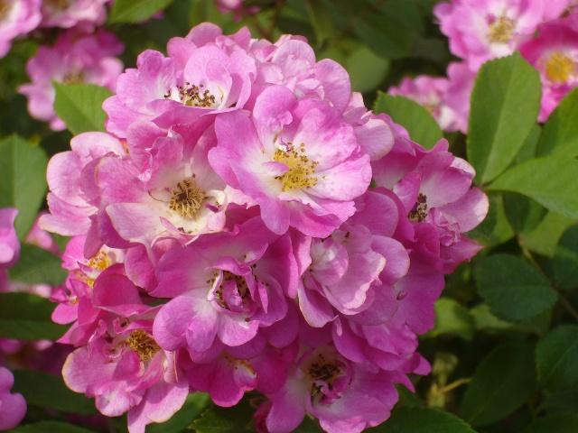 """""""百年""""蔷薇老树嫁接开出月季花"""