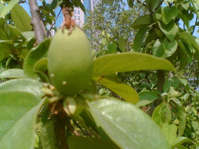 下面这张是木瓜海棠树上的果实——木瓜