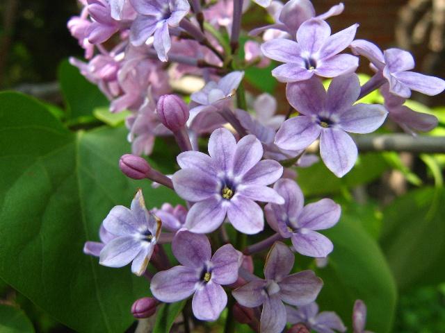 在另外一棵月份树上我还开花了六瓣丁香.长寿花7丁香看见图片