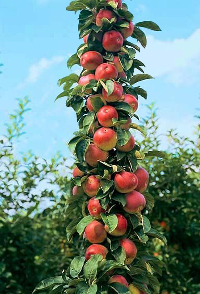 转】做一棵永远成长的苹果树