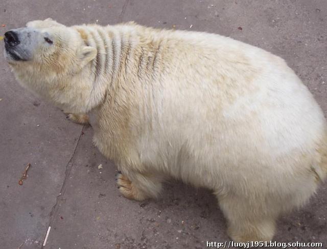 北京动物园北极熊在水里游