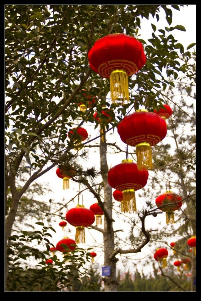 大红灯笼树上结
